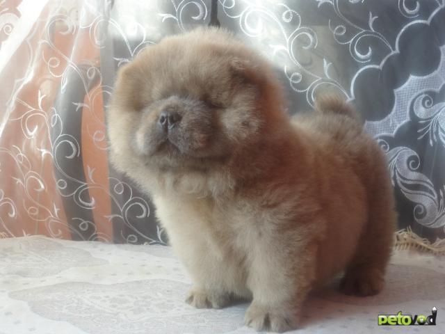 Собака чау чау продаю в барнауле