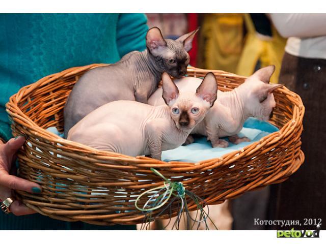 сравнению обычным купить недорнедо котенка сфинска средней толщины