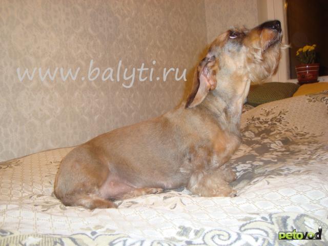Триминг, стрижка жесткошерстной таксы- щенок.  Зоосалон Балути.