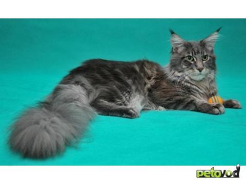 Мэйн кун порода кошки фото описание