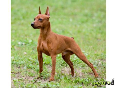 Цвергпинчер: продажа щенков и взрослых собак