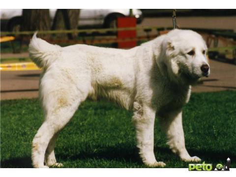 фото породы собак алабай