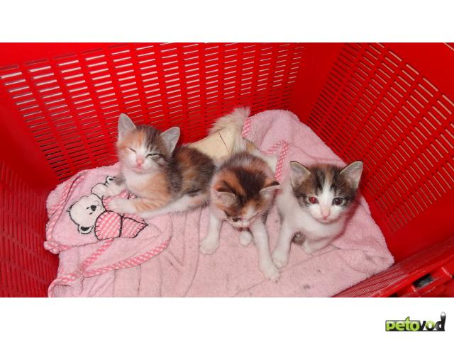 Кошка.  Беспородные и метисы .  Отдам в дар в Тюмени.