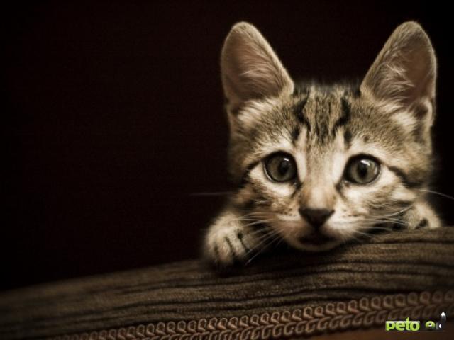 Обои Милый котенок, обои для рабочего ...: childes.ru/kirov-oboi-foto.html