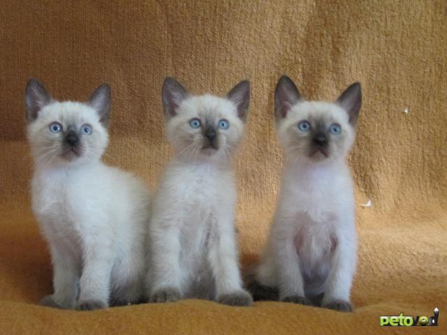 сиамский котенок 1 месяц фото