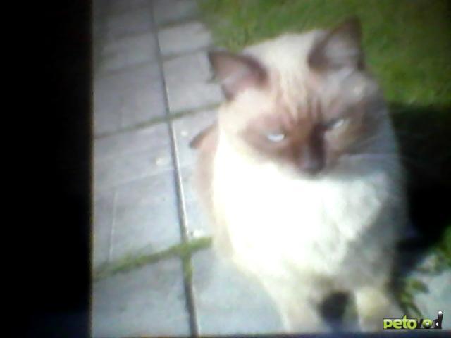 Кошка тайская отдам в дар в санкт