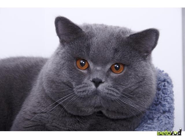 Абиссинская кошка О породе  Породы кошек  CATSпортал