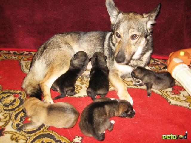 Муром: чистокровные щенки немецкой овчарки - объявление n 37446266