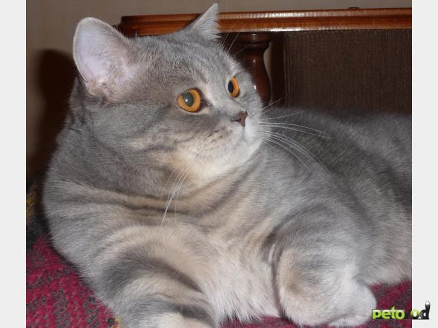 Шотландский прямоухий кот вязки москва