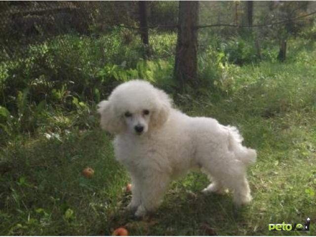 Собаки и щенки - Куплю / Продам в Красноярске