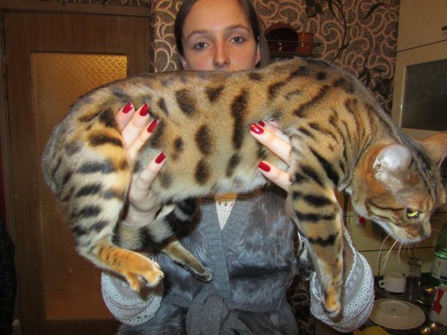 Кошка бенгальская короткошерстная