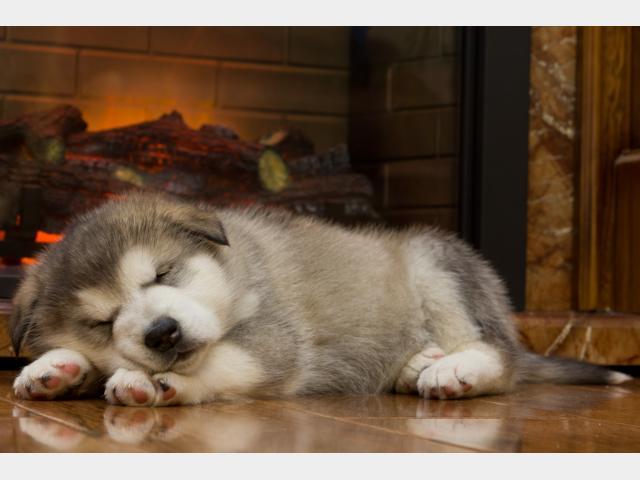 аляскинский маламут цена и фото