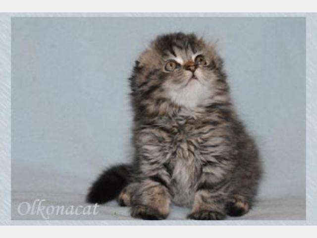 Шотландский вислоухий кот хайленд
