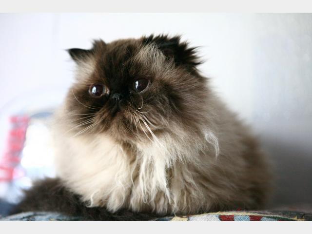 Коты сиамские и персидские