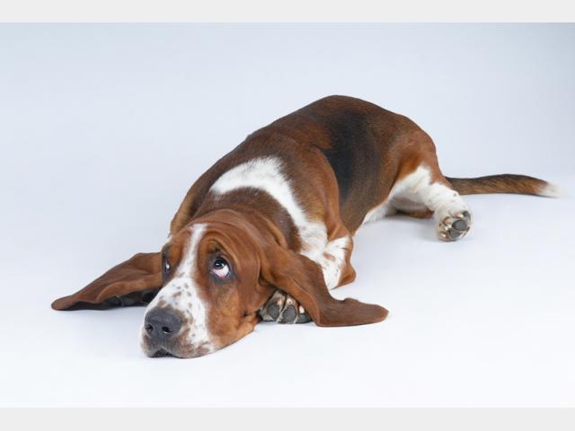 фото щенки бассет