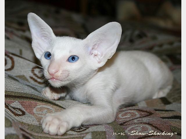 Кошка. Ориентальная (короткошерстная). Продаю в Тольятти