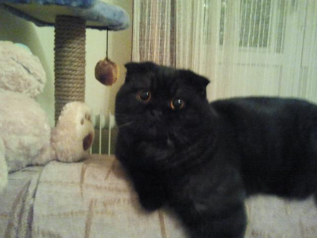 Фото шотландского вислоухого кота черного