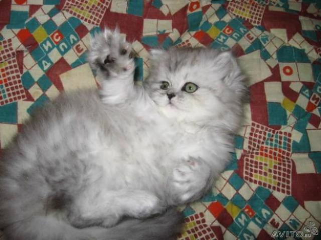 котята фото питомников