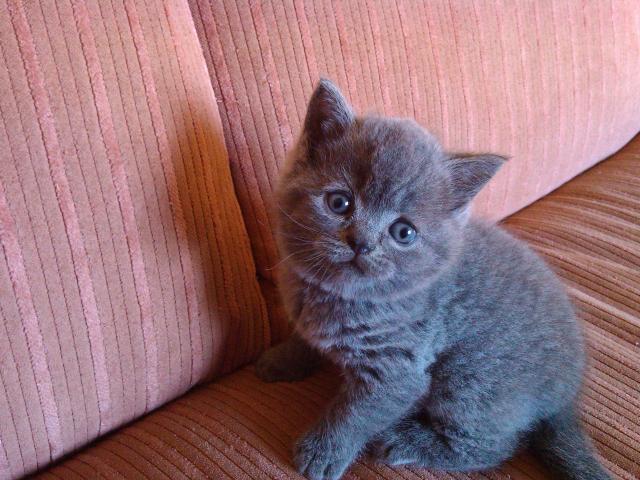 Британский котенок в домашних условиях