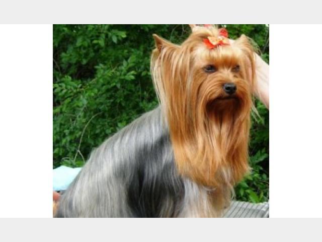 Собака породы йоркширский терьер для вязки