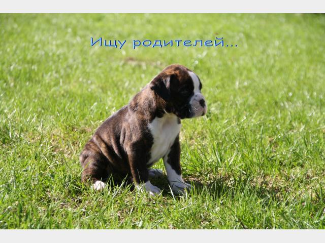 Объявление о продаже n 33753144 на сайте sankt-peterburgbuyreklamacom в рубрике собаки и щенки