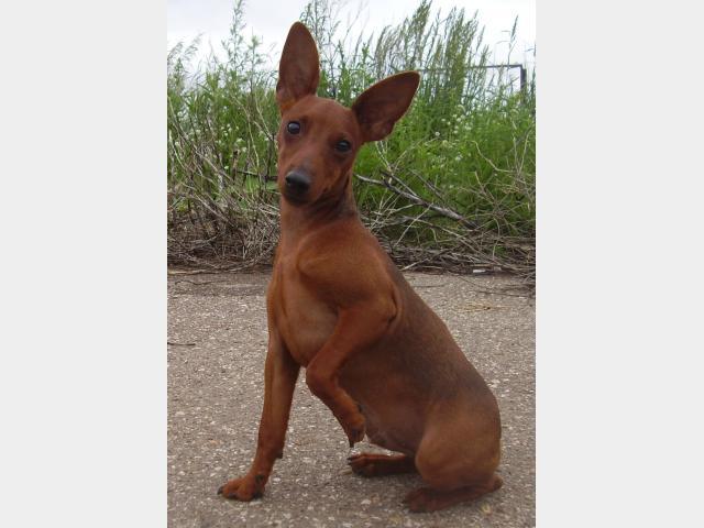 Собаки и щенки породы Цвергпинчер - купить из - Avito ru