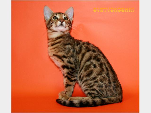 Британская в Воронеже : котята, кошки и коты