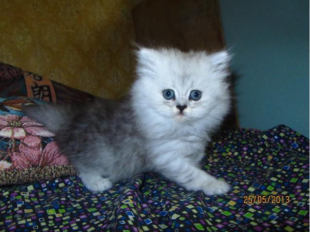 сочные, где купить персидского котенка в москве угольный