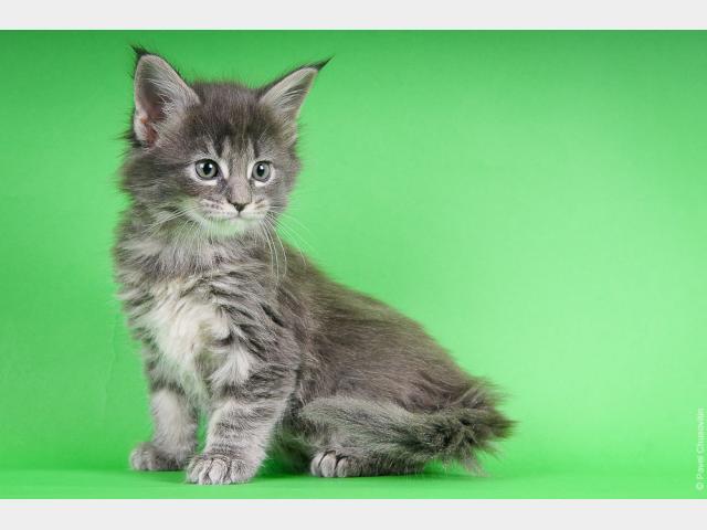 Кошка. Мэйн-кун . Продаю в Москве