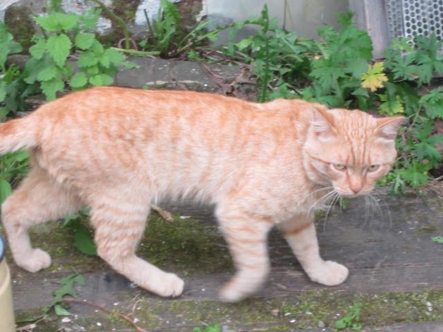 Кошка беспородные и метисы потеря