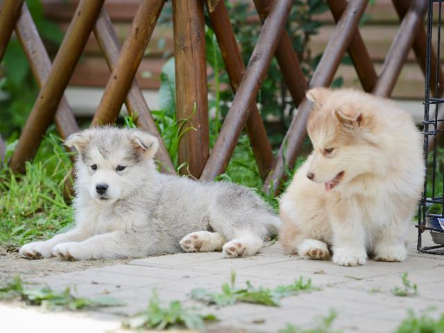 Собака. Сибирский хаски . Продаю в Боровске