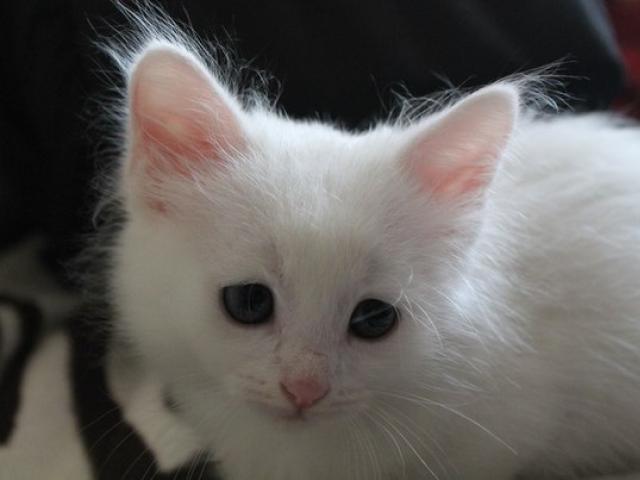 Кошка турецкая ангора продаю в