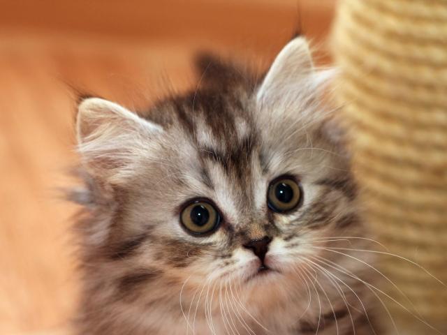Хайлендфолд Шотландская вислоухая длинношерстная кошка