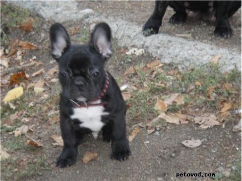 Собака. Французский бульдог . Продаю в Барсуково