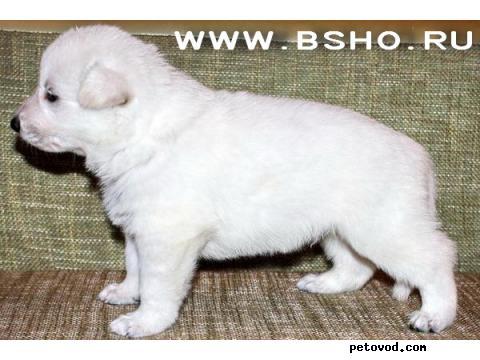 Собака. Белая швейцарская овчарка. Продаю в Ангарске