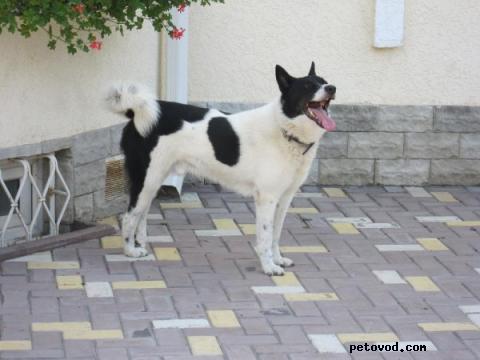 Собака. Восточносибирская лайка. Продаю в Москве