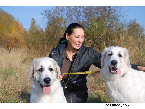 Собака. Пиренейская горная собака. Продаю в Москве
