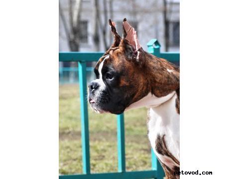 Собака. Немецкий боксер. Продаю в Москве