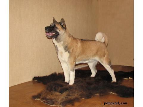 Собака. Американская акита. Продаю в Москве