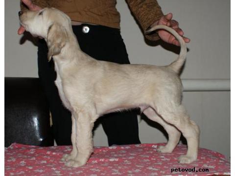 Собака. Афганская борзая. Продаю в Астрахани