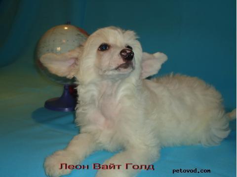 Собака. Китайская хохлатая собака . Продаю в Ачаире
