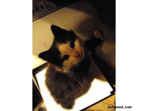 Кошка. Курильский бобтейл. Продаю в Владивостоке