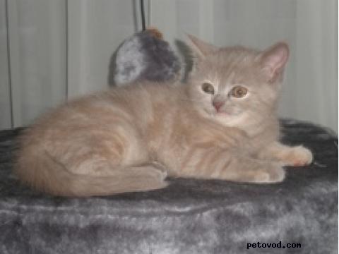 Кошка. Британская короткошерстная. Продаю в Ачаире