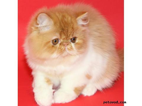 Кошка. Персидская. Продаю в Барсуково