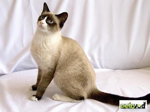 фото кошки породы сноу-шу