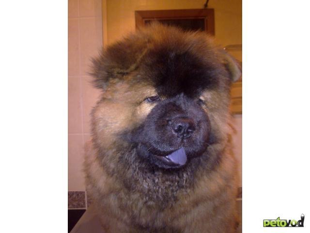Собака. Чау чау . Продаю в Новосибирске