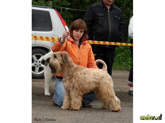 Собака. Ирландский мягкошерстный пшеничный терьер. Продаю в Новосибирске