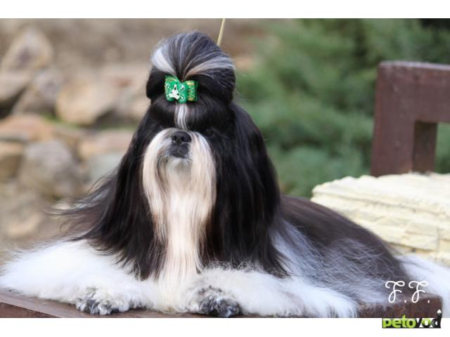 Собака. Ши тцу . Продаю в Волгограде