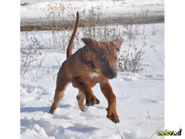 Собака. Родезийский риджбек . Продаю в Москве