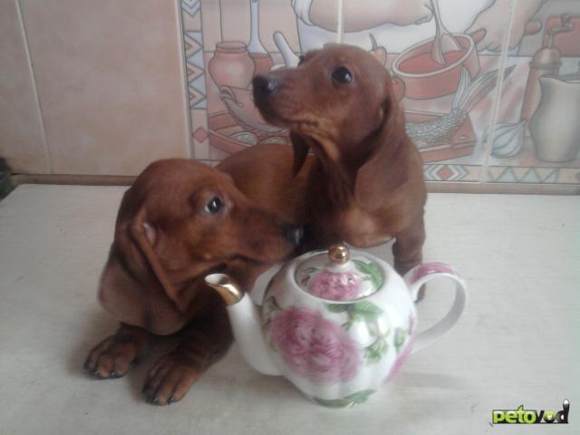 Собака. Такса кроличья. Продаю в Москве